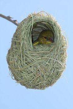 Baby African Weaver Bird in Nest - South Africa Eastern Cape by neeravbhatt
