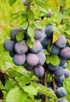 DAMSON PLUMS ===An old European plum with bluish purple color. Round shape. Golden yellow flesh is tart and juicy. Best used for jam and jelly. Trees are small and self pollinating.   *Fruit ripens end of August