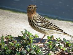 Red-throated Pipit/ #Aqaba, #Jordan.