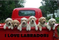 Labradors- 2 of my favorite things, classic trucks and labs