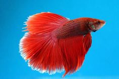 dvd-criaco-comercial-de-peixes-ornamentais-D_NQ_NP_542111-MLB20475921475_112015-F.jpg (849×565)