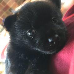 Meet Mookie He Is My 4 Week Old Schipperke Puppy I Love Him To