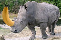 De gele neushoorn