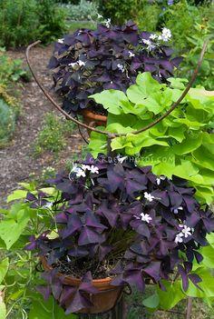 Sweet potato vine Sweet Caroline Green with Oxalis triangularis / Plant & Flower Stock Photography: GardenPhotos.com