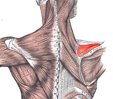 Supraspinatus is the first of four muscles that comprise the group commonly known as the rotator cuff muscles. This group of muscles are key in the movement of the shoulder. The name supraspinat...