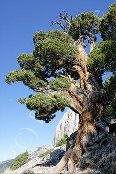 western juniper on cliff