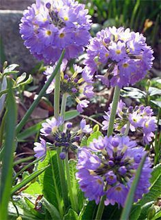 Primula need shade and moist soil. With 425 species, they come in many colors, and range from 3 inches to 4 feet tall. This is Primula denticulata, aka drumstick primula.