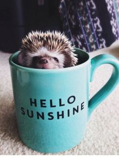 Cutest Baby Hedgehog In a Cup