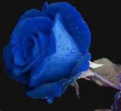 Les Plus Belles Roses Du Monde Bing Images Fleurs