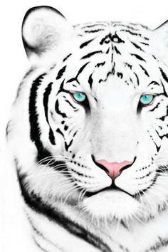 White Bengal Tiger..