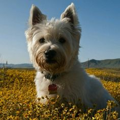 Mackenzie in Carrizo Plain Wildflowers jigsaw puzzle Natural Flea Control, Flea And Tick Spray, Animal Puzzle, Cute Dog Photos, West Highland Terrier, White Terrier, Terrier Dogs, Dog Names, Fleas