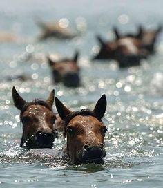 This picture is from Chincoteague, VA during the annual pony swim from Assateague Island, MD. The horses are wild and live free in the Federal state park. All The Pretty Horses, Beautiful Horses, Animals Beautiful, Cute Animals, Zebras, Horse Pictures, Animal Pictures, Majestic Horse, All Nature