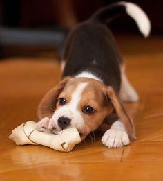 Adorable Beagle puppy got a new rawhide bone! - http://animalfunnymemes.com/adorable-beagle-puppy-got-a-new-rawhide-bone/