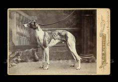 Superb Old Antique Cabinet Photo WHIPPET or GREYHOUND DOG by Royal Photographer