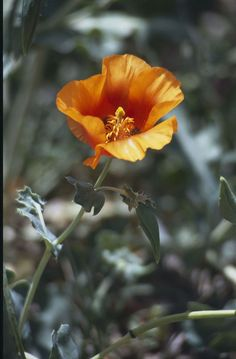 Glaucium oxylobum flower hornmohn wikipedia papaveraceae und glaucium grandiflorum hornmohn wikipedia mightylinksfo