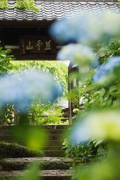 資福寺山門 Hydrangea, Miyagi, Japan #hydrangea #紫陽花