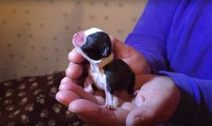 Bostons are just SO Tiny after Birth! Watch this One at 12 Hours Old ► http://www.bterrier.com/?p=30210 - https://www.facebook.com/bterrierdogs