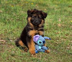 #German #Shepherd #puppy and toy