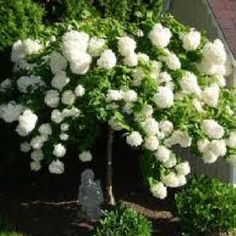 PeeGee hydrangea - these can be trees or bushes and bloom white ALL summer long!!!!!!!!! They go a golden/pink in the fall
