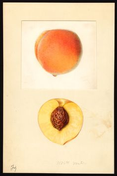 Nestor Peach, watercolor, Mary Daisy Arnold, 1933 (via U.S. Department of Agriculture Pomological Watercolor Collection. Rare and Special Collections, National Agricultural Library, Beltsville, MD 20705)