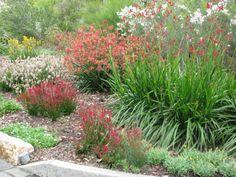 Gondwana Nursery: Anigozanthos Midas Touch, Bush Endeavour and mixed Bush Gems at Roma St Parklands, amazing gardens !