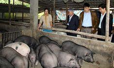 Kết quả hình ảnh cho Chăn nuôi tại huyện pác nặm Hippopotamus