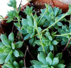 Plantas de Echeveria prolifica