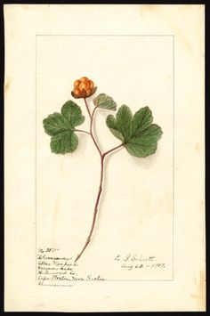Artist: Schutt, Ellen Isham, 1873-1955 Scientific name: Rubus chamaemorus Common name: cloudberry Geographic origin: Ferguson Lake, Cape Breton Island, Nova Scotia, Canada Physical description: 1 art original : col. ; 17 x 25 cm. Specimen: 38714 Year: 1907 Date created: 1907-08-22