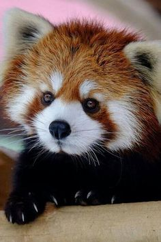 Information about types of pandas that exist in the world. Not only that, you can find fun facts about giant pandas and red pandas too. Cute Creatures, Beautiful Creatures, Animals Beautiful, Animals Amazing, Majestic Animals, Nature Animals, Animals And Pets, Wild Animals, Small Animals