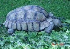 Sulcata Tortoise Care Information
