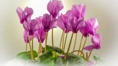 Brambořík bude rok od roku krásnější- pokud víte, jak ho pěstovat