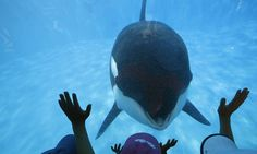 Blackfish just took home a major win — and it's not an Oscar.   SeaWorld announced today that it planned to phase out its killer whale performance, the Shamu show, in San Diego to help clean up an
