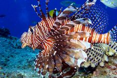 Saltwater-Lionfish    Probably my fave saltwater fish!!  So beautiful.