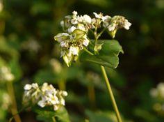 Buckwheat - Wikipedia - nutrition & concerns