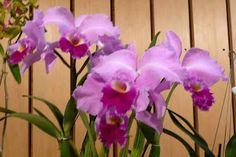 Christmas Orchid - national flower of Columbia