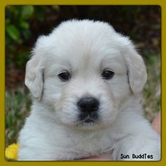 available english cream golden retriever puppies