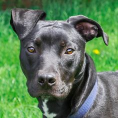 Do you have a dog at home who needs a buddy? Shamrock is an 11-month-old Lab mix who was rescued by our Law Enforcement department from a home where he wasn't being cared for properly. Shamrock is still a bit shy, but does great with another dog so he's looking for a home with a canine friend he can look to for guidance and support. Shamrock's favorite things include walks, hiking in the park, treats, and of course, other dogs. Contact bdupra@lollypop.org or 585-223-1330 x175 for more info!