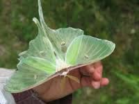 luna moths - Google Search