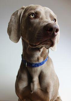 Felix - dog collar with beautiful blueprint decor #dog #dogcollar #obojok #prepsa #pes #weimaraner #blueprint