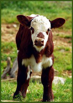 Cute calf!