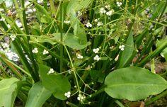 water plantain (Alisha plantago-aquatica)
