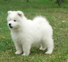 Samoyed puppy. One of the cutest hypo allergenic dogs I've seen!