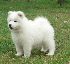 Samoyed puppy. :)