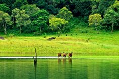 #Thekkady is a beautiful location in #Kerala offering exotic #wildlife, #trekking and #biodiversity :) Visit- http://bit.ly/2cvg4re #travel #ttot #indiatourpackages #indecubotravelsau