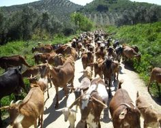 Olvera, Spain goat herding and goat care blog - I can't stop reading it!
