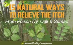 15 Natural Home Remedies for Poison Ivy, Oak & Sumac Poison Oak Plant, Poison Ivy Oak Sumac, Poison Ivy Plants, Poison Ivy Cure, Poison Ivy Remedies, Poison Oak Rash, Poison Ivy Treatment, Itching Remedies, Identify Plant
