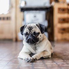 Good night world... Zzz  .  #SookieSoFresh by @bonnallie . #pugsleeping #sleepypug #pugstory #pugstorytime #pugslife #pug #pugs #pugsofinstagram #petstagram #dogsofinstagram #cutnessoverload #doglover #pugamigo #pugworld #pugmodel #ilovemypugs #dailydoseofpugs #pugmatters #pugloversclub #pawsomepugs #pugtime #pugmylife #pugmontreal #pugmylove