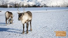 Reindeer - Tromso Norway