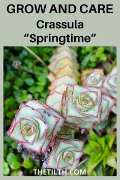 """Crassula """"Springtime"""""""