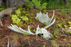Bull Moose Skull in Forest Moose Skull, Deer Skulls, Animal Skeletons, Animal Skulls, Sambar Deer, Animal Pictures, Cool Pictures, Hearts And Bones, Elk Hunting